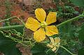 Benincasa hispida flower.jpg