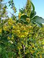 Berberis vulgaris 2 BOGA.jpg