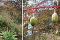 Beschorneria albiflora (9179069857).jpg