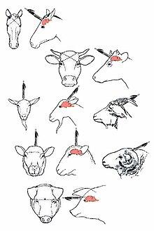 Schafe Selber Schlachten