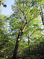 Betula alleghaniensis Yellow Birch.jpg
