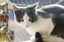 Bicolor he-cat.JPG