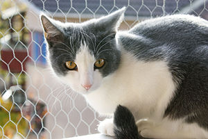 Bicolor cat - A mask-and-mantle cat