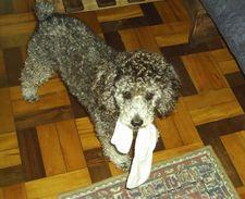 Poodle brincando com uma meia