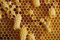 Bienenwaben mit Nachschaffungszellen.jpg