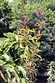 Bignonia capreolata Tangerine Beauty 7zz.jpg