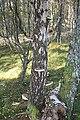 Birches - geograph.org.uk - 260655.jpg