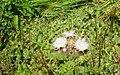 Bird's-nest thistle (Cirsium scariosum var. americanum) (26842895710).jpg
