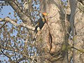 Bird Great Hornbill Buceros bicornis at nest DSCN9018 03.jpg