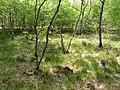 Birken in der Bockholter Dose, Naturschutzgebiet WE 138.jpg