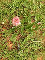 Bistorta officinalis close-up 002.jpg
