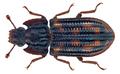 Bitoma prolata Pascoe, 1860 (29341605275).png