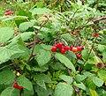 Bittersweet, Solanum dulcamara - geograph.org.uk - 978801.jpg
