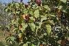 Bixa orellana with fruits in Hyderabad, AP W IMG 1453