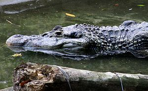 Black-Caiman-(cropped).jpg