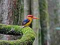 Black-backed Kingfisher (Ceyx erithacus) (8077274670).jpg