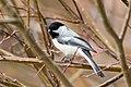 Black-capped Chickadee (Poecile atricapillus) (20342829262).jpg