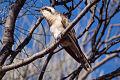 Black-eared Cuckoo.jpg