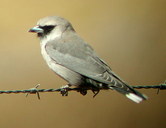 Black-faced woodswallow - Image: Black faced Woodswallow Newhaven