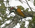 Black-rumped flameback (Dinopium benghalense) - Flickr - Lip Kee.jpg