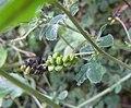 Black Medic Seed Pods (49188308897).jpg