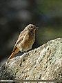 Black Redstart (Phoenicurus ochruros) (15447782853).jpg