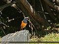 Black Redstart (Phoenicurus ochruros) (23162504163).jpg