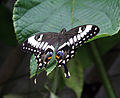 Black Swallowtail Butterfly 2 (2764963433).jpg