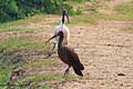 Black and Whit Ibis birds at The Basai Wetland, Gurgaon.jpg