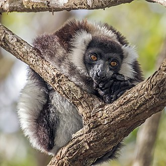 Black-and-white ruffed lemur - Image: Black and white ruffed lemur (Varecia variegata variegata)
