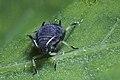 Black bean aphid (9269137423).jpg