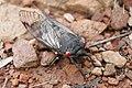 Black cicada.jpg
