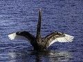 Black swan on Avon River, Christchurch, New Zealand 04.jpg