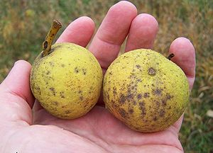 Description: jpeg image, Black Walnut fruit Ju...