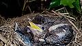 Blackbird Nest 08-07-09 (4484850605).jpg