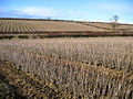 Blackcurrant fields in winter, Stoke-sub-Hamdon, Somerset - geograph.org.uk - 133857.jpg