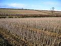 Blackcurrant fields in winter, Stoke-sub-Hamdon, Somerset - geograph.org.uk - 133857.jpg