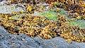 Bladder Wrack (Fucus vesiculosus) - Nesodden, Norway 2020-09-20.jpg