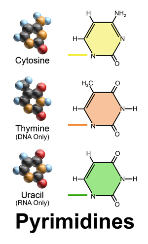 Nucleobase - Pyrimidine nucleobases are simple ring molecules.