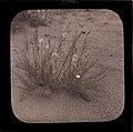 Blomstermotiv, Målselv 1912 (autochrome) (14587763689).jpg