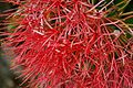 Blood Lily flower close.jpg