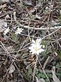 Bloodroot blooming on the Shearman's Mill Trail (13874970545).jpg