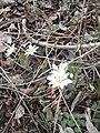 Bloodroot blooming on the Shearman's Mill Trail (13874970545).jpg