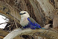 Blue-bellied Roller, Gambia (11207635225).jpg