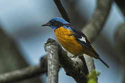 Blue-capped Rock-Thrush - Bhutan S4E0886 (16614723413).jpg