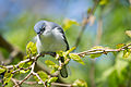 Blue-gray gnatcatcher (Polioptila caerulea) (17245938561).jpg