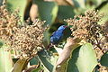 Blue Dacnis (Dacnis cayana) male (4504912709).jpg