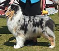 Blue Merle Rough Collie.jpg