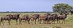 Blue wildebeest (Connochaetes taurinus taurinus) herd.jpg