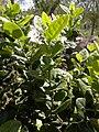 Boldo leaf.jpg